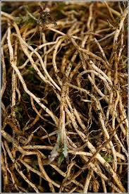 Image result for bindweed roots