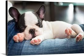 french bulldog puppies sleeping. Plain Sleeping French Bulldog Puppy Sleeping On Person Lap Inside Bulldog Puppies Sleeping N