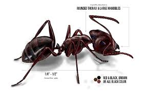 carpenter ant pic. Plain Carpenter Carpenter Ants Throughout Ant Pic Orkin