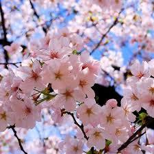 Bunga Sakura Bunga Sakura Uploaded With The Flock Browser Justiphik