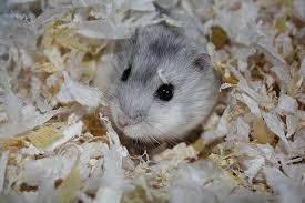 the best bedding for your dwarf hamster