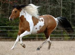 black and white paint horses running. Wonderful Running Ive Never Sewn Anythimg More To Black And White Paint Horses Running I