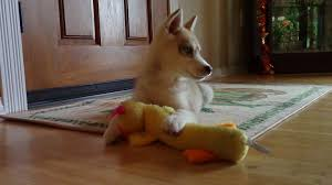 husky playing with a toy