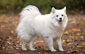 Image result for miniature spitz pictures