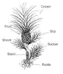 that pineapple top plant it, don't toss it hawaii horticulture Houseplants For Clean Air or you can use organic mulch three inches of organic mulch works well mulch will help conserve water and keep weeds down black plastic mulch also heats houseplants for cleaner air