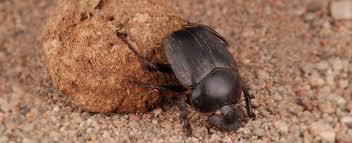 Résultats de recherche d'images pour «Le scarabée sacré»