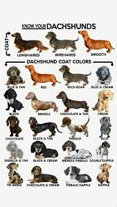 Dachshund Color Chart Dachshund Colors Patterns Weenie Dogs Sausage Dog
