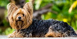 best 50 small dog breeds for apartments
