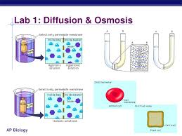 lab osmosis and diffusion essay answers yahoo power point  lab 4 diffusion and osmosis essay