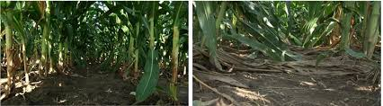 Most Efficient Harvest contest to showcase improved standability ... & Quilt Xcel corn Adamdwight.com
