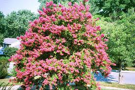 Crape Myrtle Colors Chart Lagerstroemia Wikipedia