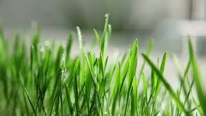Grass Blade Close Up Grass Blade Close Up E Nongzico