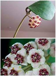 Hoya kerri flower from Cambodia ... | Rare flowers, Flowers for you, Flowers