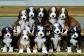 Bernedoodle Dogs Bernedoodle Puppy Puppies Dogs