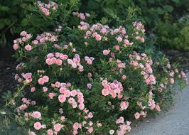 100  Shrub With Pink Flowers   Types Of Bushes Flowering Hgtv Shrub With Pink Flowers
