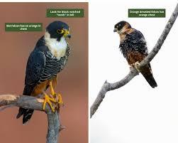 Bat Species Chart Wildlife Guide Bat Falcon Tambopata Peru Rainforest