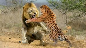 Lion VS Tiger - Tiger VS Lion - Aspin - YouTube | Tiger and lion fight, Lion,  Animals