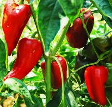 Garden Centre Kitchener Buy Sweet Pepper Italian Sweet Red Pepper Tapered Pepper In