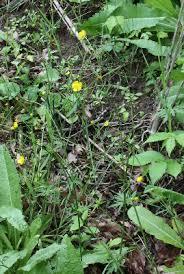 Ranunculus acris - Michigan Flora