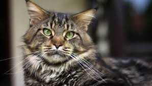 Maine Coon Weights By Month 37 Photos A Table With An