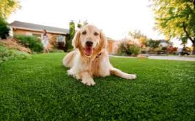 artificial grass for pets. Big Golden Retriever Dog Relaxes On Safe Artificial Grass By PupGear For Pets Reviews 2018