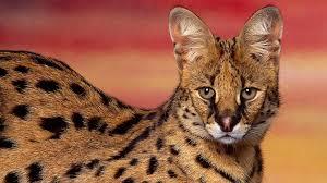 serval gatto hd sfondo del desktop: widescreen: l'alta definizione:  fullscreen