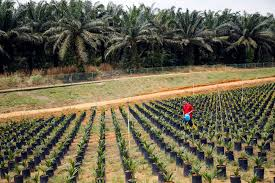 Malaysias Palm Oil Futures Dominance Challenged By Upstart