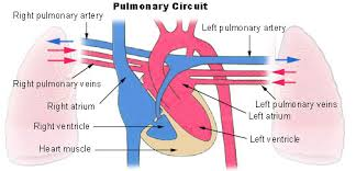 Pulmonary Circulation Wikipedia