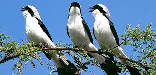 Resultado de imagen de pájaros cantando