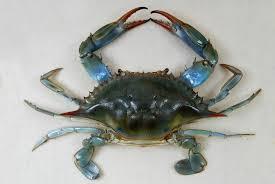 Crab Size Chart Nj Callinectes Sapidus Wikipedia