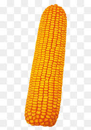 ear of corn clipart. Exellent Corn An Ear Of Corn Ear Clipart Corn Makers PNG Image And Clipart And Of T
