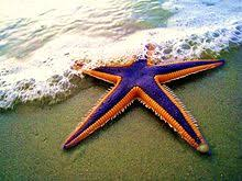 starfish royal starfish