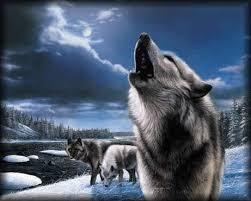 howling wolf wallpaper. Plain Wolf Wolves Images Howling  Wallpaper And Background Photos Intended Wolf Wallpaper P