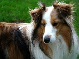 the breed usually referred to as shelties have unsually long coats that can be sable tri color or black they are excellent with children and very loyal