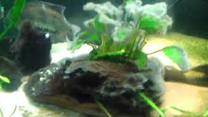 Black hairy algea aquarium