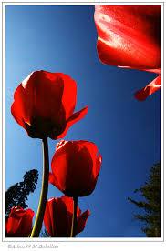 """Résultat de recherche d'images pour """"tulipe"""""""