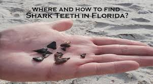 Where And How To Find Shark Teeth In Florida Snorkel
