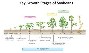 Growth Stages Of Corn Soybeans Novus Ag