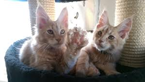 3 Please Maine Is Mix A My Mainecoons Coon Help Old Month