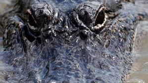 2017 Alligator Price Chart Florida Low Prices Make For Slow Alligator Season In Louisiana Fox