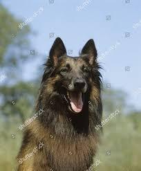 Tervueren Belgian Shepherd Portrait Dog ...