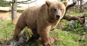 grolar bear size evidence of yeti probably came from a himalayan black bear