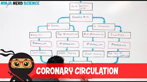 Circulatory System Coronary Circulation
