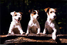 black and white terrier mix. Simple Terrier Intended Black And White Terrier Mix T