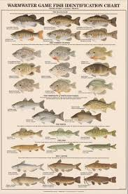 Types Of Bass Fish Chart Warmwater Game Fish Identification Poster Freshwater Fish