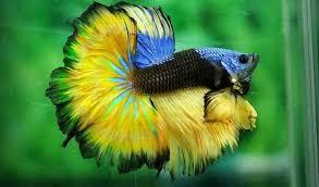 Ikan Cupang Fancy: Jenis, Ciri-ciri, Cara Merawat Hingga Harga