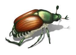 japanese beetles life cycle japanese beetle life cycle lifespan stages etc