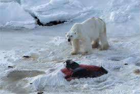polar bear eating shark polar bear eating shark photo 8