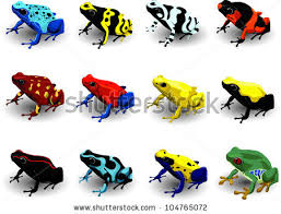 Image result for poison arrow frog
