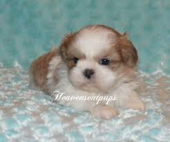 shih tzu quality small akc shih tzu puppies from 5 9 lbs when grown many colors vet checked vaccinated health guarantee 750 00 and up